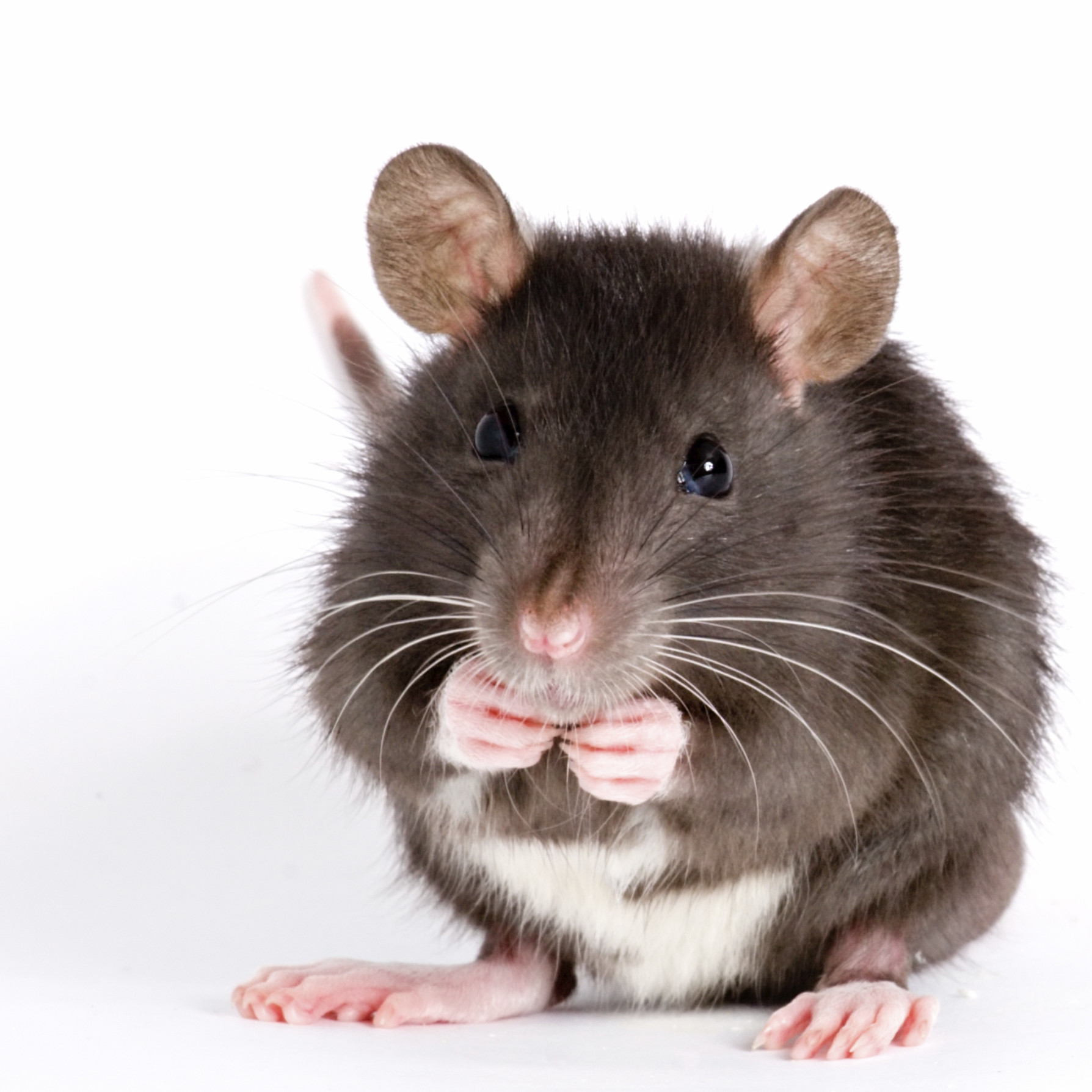 Rats and Mice can cause damage to your property, spread disease and if left unchecked can develop into a major infestation